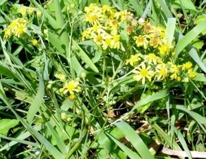 Senecio paludosus w lipcu